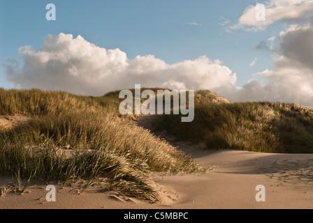 European Marram Grass, Ammophila arenaria, on a dune near the North Sea beach, Denmark