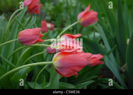 leaning pink tulips after a rain - Stock Photo