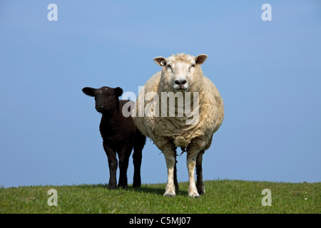 Domestic Sheep (Ovis ammon aries) . Ewe with black lamb on a dyke, Northern Friesland, Germany. - Stock Photo