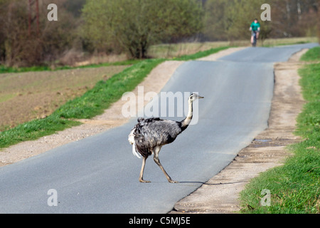 Greater Rhea (Rhea americana). Free-ranging male crossing a road. Mecklenburg-Vorpommern, Germany. - Stock Photo