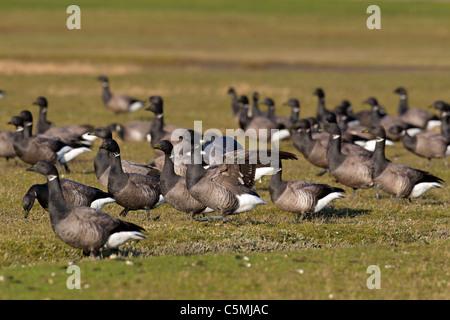 Brent Goose (Branta bernicla). Flock on a salt marsh. - Stock Photo