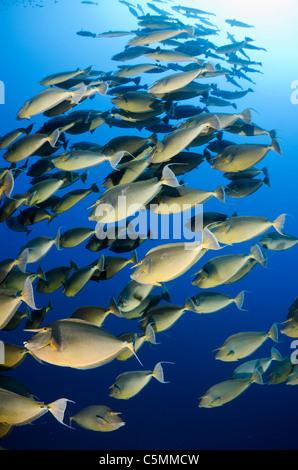 Unicorn fish schooling around Ras Mohammed in annual mating season, Sinai, Egypt, Red Sea - Stock Photo