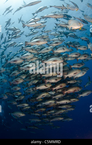 Bohar snappers schooling around Ras Mohammed in annual mating season, Sinai, Egypt, Red Sea - Stock Photo