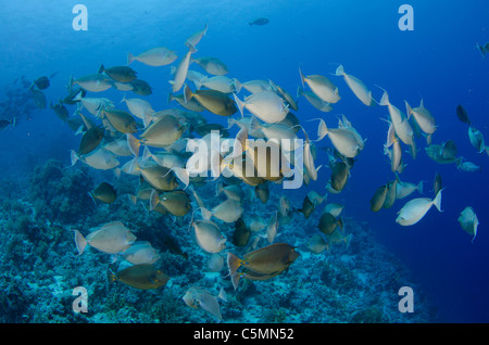 Unicorn fish schooling around Ras Mohammed in annual mating season, Sinai, Egypt, Red Sea - Stock Photo