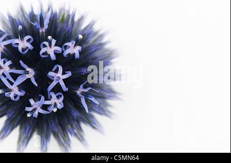 Echinops ritro veitchs. Globe thistle flower head against a white background - Stock Photo