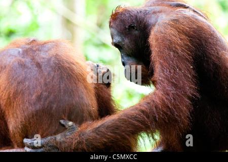 SABAH, MALAYSIAN BORNEO dominant male orangutan (Pongo pygmaeus) Miskam gazes into the eyes of baby Charlie. - Stock Photo