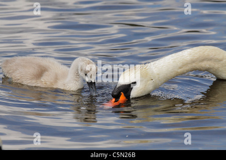 Mute swan mother with young cygnet feeding in lagoon-Victoria, British Columbia, Canada. - Stock Photo