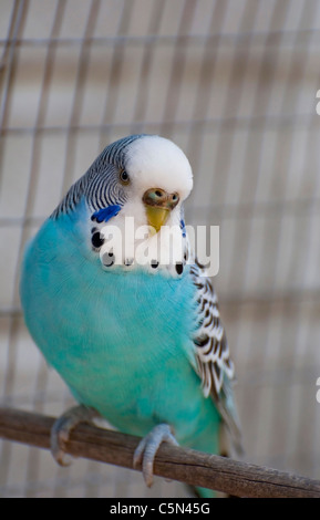 A blue budgie - Stock Photo