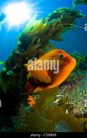 Garibaldi in Kelp Forest - Stock Photo