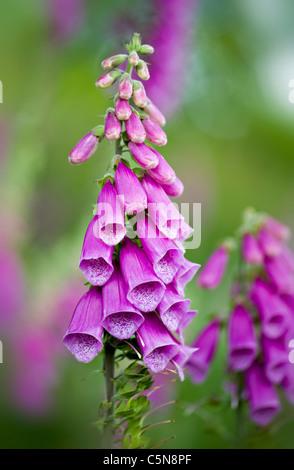 Foxgloves - Digitalis purpurea flowers - Stock Photo
