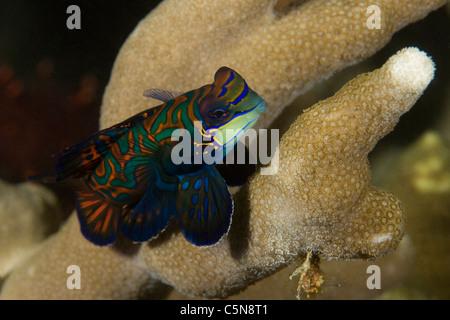Mandarin Fish, Synchiropus splendidus, Micronesia, Pacific Ocean, Yap - Stock Photo