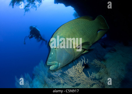 Napoleon Wrasse, Cheilinus undulatus, Indian Ocean, Maldives - Stock Photo