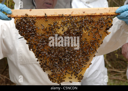 ... Beekeepers Inspecting A Frame From A Top Bar Hive   Stock Photo