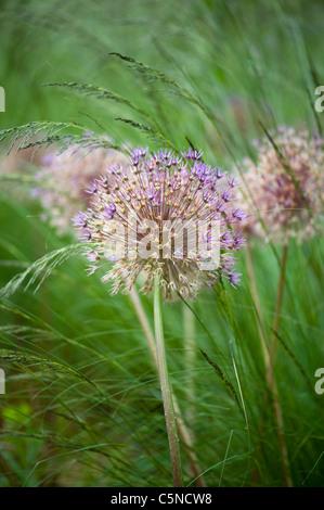 Allium aflatunense 'Purple Sensation' - flowering onion amongst grasses - Stock Photo