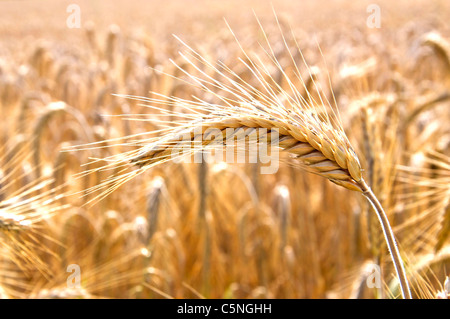 Closeup of an ear of barley, ready to be harvested - Stock Photo