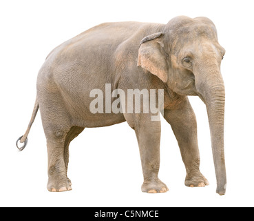 Asian elephant young female isolated on white background - Stock Photo