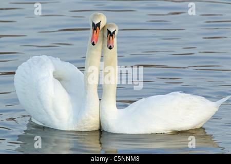 Mute Swan - Courtship display Cygnus olor Caerlaverock WWT BI020629 - Stock Photo