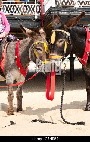Donkeys on beach waiting for passengers UK holiday - Stock Photo