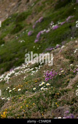 South Pembrokeshire cliff tops with Oxeye Daisies, Sea Thrift and other wildflowers in Spring - Stock Photo