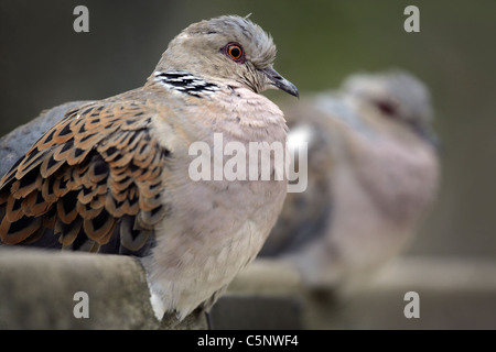 Pair of Turtle Doves of park bench - Stock Photo