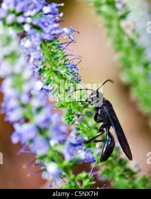 A Pipe Organ Mud Dauber, Trypoxylon politum, nectars from flowers,Veronica spicata. Oklahoma, USA. - Stock Photo