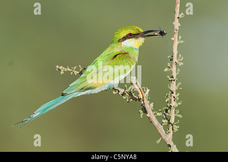 Swallow tailed bee eater perching on branch - Stock Photo