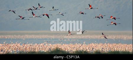 Lesser and Greater Flamingos flying over Lake Nakuru National Park, Kenya - Stock Photo