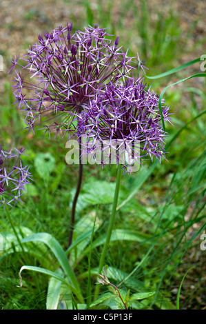 Allium Christophii flowers - Stock Photo