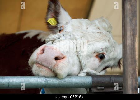Herefordshire bull, close up - Stock Photo