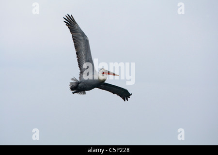 Dalmatian Pelican (Pelecanus crispus) in flight - Stock Photo