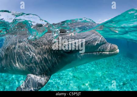 Atlantic bottlenose dolphin - Stock Photo