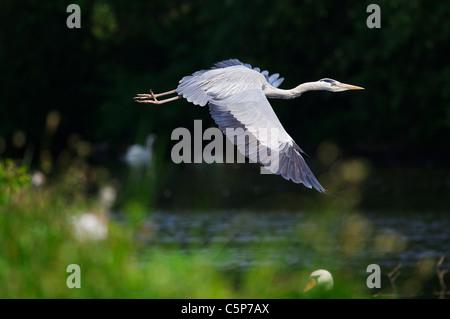 Grey heron, Ardea cinerea, in flight over River Lea, London, UK - Stock Photo
