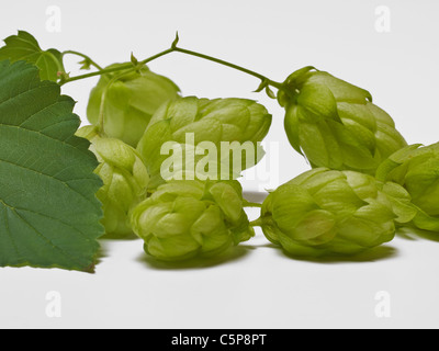Detailansicht einer Hopfenpflanze | Detail photo of a hop plant - Stock Photo
