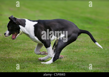 American Staffordshire terrier (Canis lupus familiaris) running on lawn in garden - Stock Photo