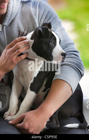 American Staffordshire terrier (Canis lupus familiaris) on person's lap - Stock Photo