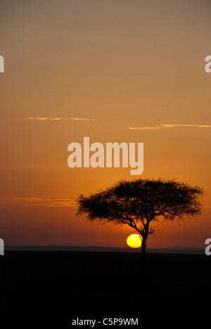 An acacia tree at dawn in the Masai Mara National Reserve, Kenya, Africa - Stock Photo
