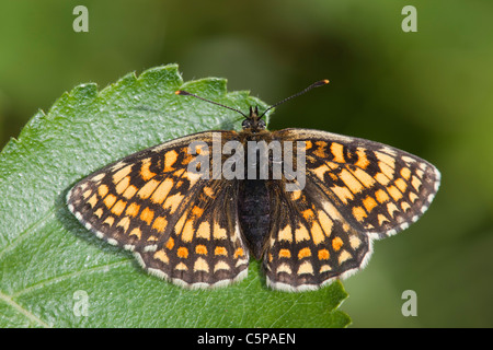 Heath Fritillary Butterfly; Mellicta athalia; on leaf; Cornwall; UK - Stock Photo