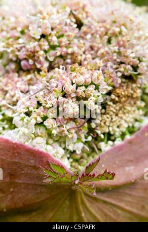 Hogweed; Heracleum sphondylium; bud opening; Cornwall - Stock Photo