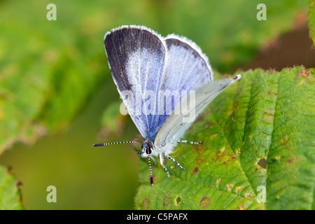 Holly Blue Butterfly; Celastrina argiolus; Cornwall; UK - Stock Photo