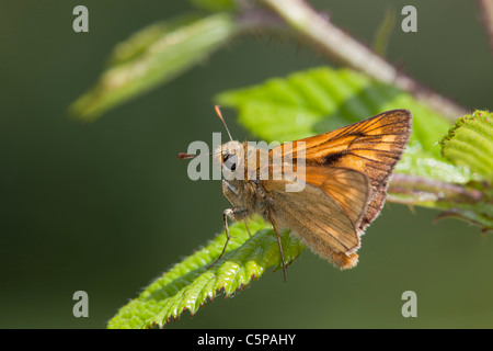 Large Skipper Butterfly; Ochlodes venatus; Cornwall - Stock Photo
