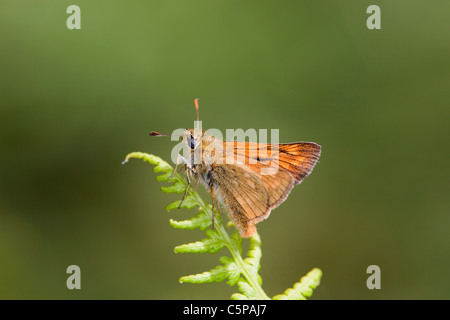 Large Skipper Butterfly; Ochlodes venatus; Cornwall on bracken - Stock Photo