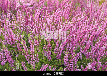 Heather flowers blossom in august - Stock Photo