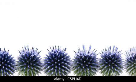 Echinops ritro 'veitchs blue' (globe thistle) flowers against a white background - Stock Photo