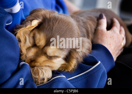 English Cocker Spaniel (Canis lupus familiaris) pup sleeping in lap - Stock Photo