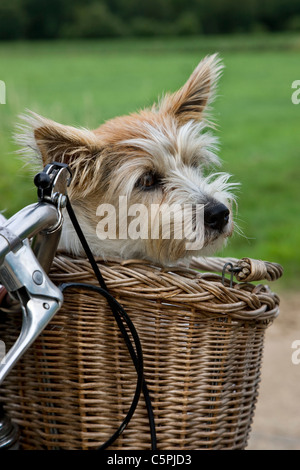 Rough-coated Jack Russell terrier (Canis lupus familiaris) in bicycle basket going for a ride - Stock Photo