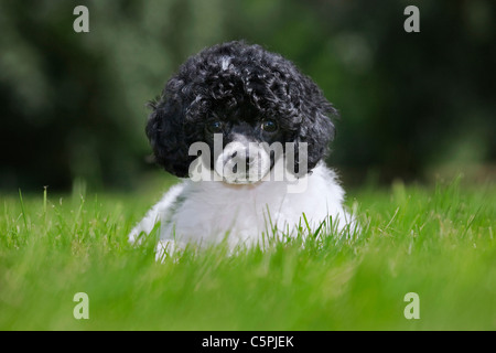 Black and white Miniature / Dwarf / Nain poodle (Canis lupus familiaris) in garden - Stock Photo