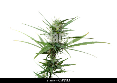 Cannabis plant isolated on white - Stock Photo