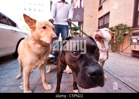 Dogs pull a dog walker as they walk on a sidewalk in the SoHo neighborhood of Manhattan, New York - Stock Photo