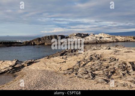 Huge pile of marine iguanas sun baking at Punta Espinoza, Galapagos - Stock Photo