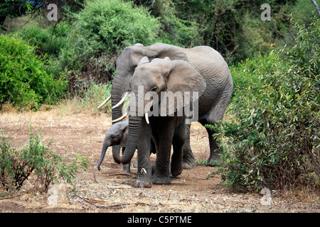 Loxodonta africana (Elephant), Lake Manyara National Park, Tanzania - Stock Photo